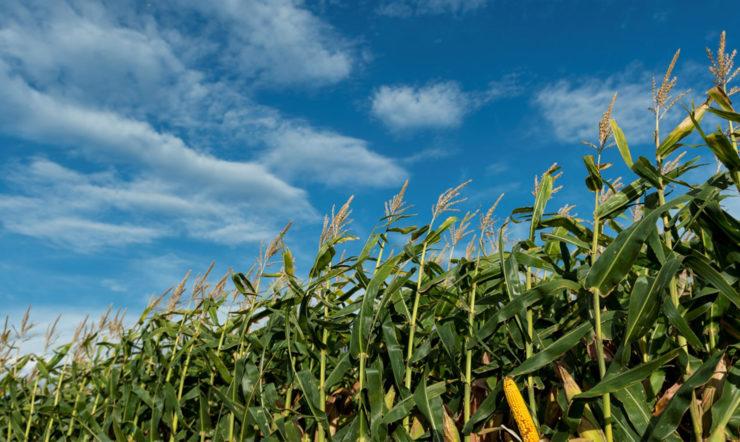 Mais an einem sonnigen Tag