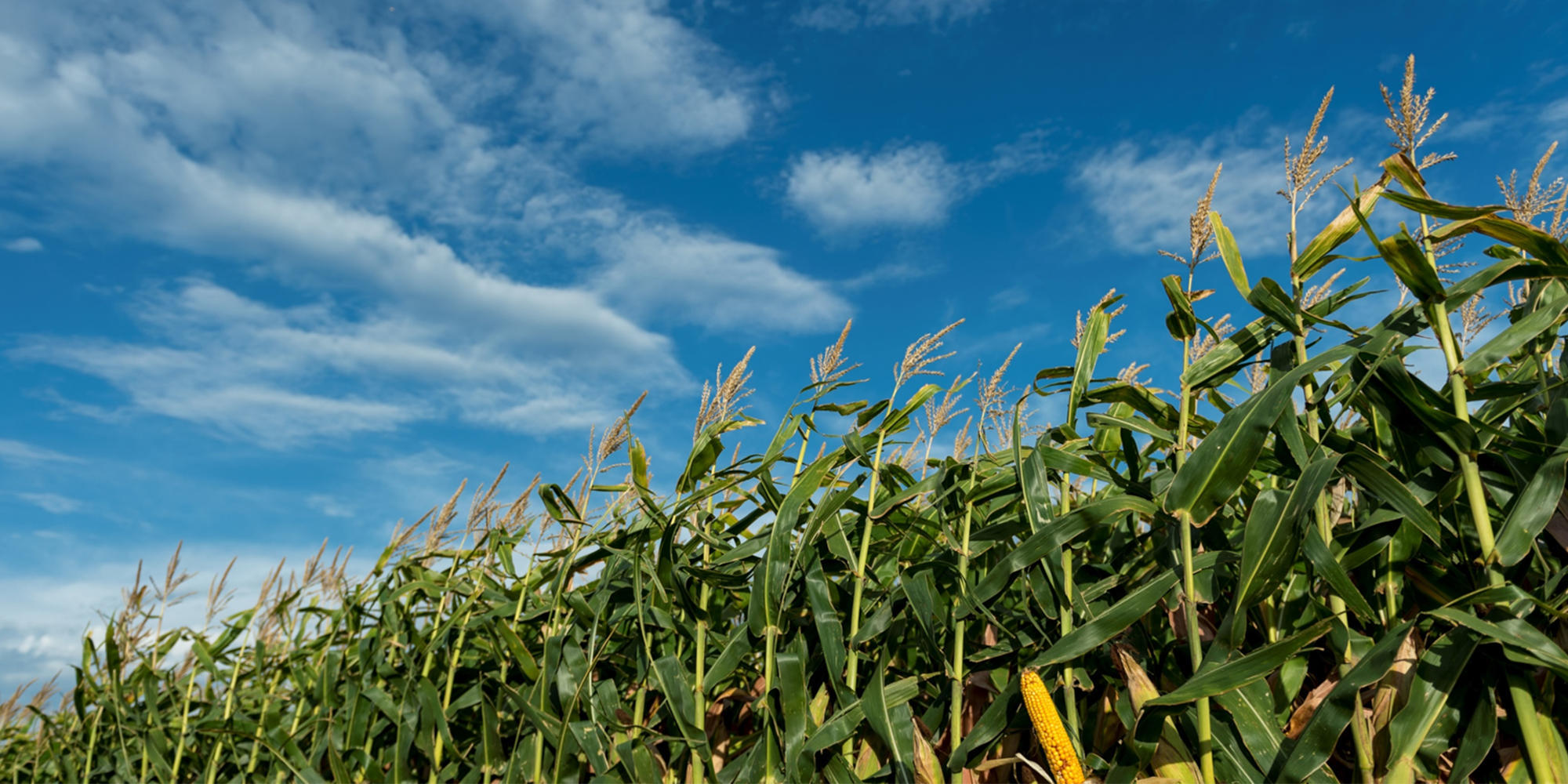 Du maïs par une journée ensoleillée